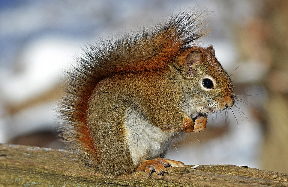 Visit the home of the native red squirrel today