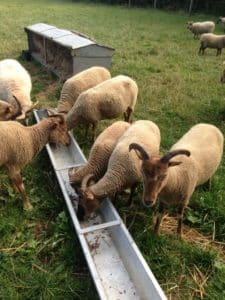Sheep eating from a trough
